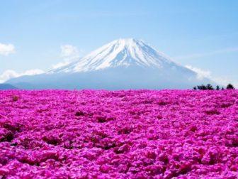 富士芝桜見頃