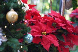ポインセチアクリスマス