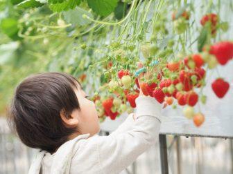 神奈川でイチゴ狩り!おすすめ