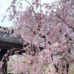 角館の桜2018ライトアップ