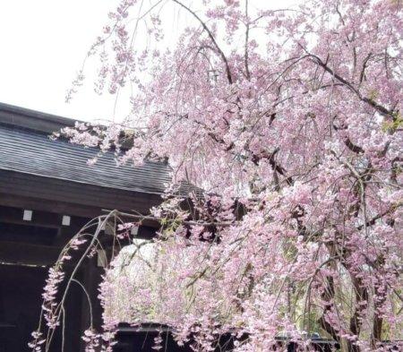 角館の桜 2020 ライトアップ