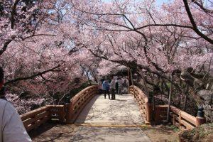 高遠城址公園 桜2018