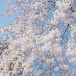 しだれ桜関東