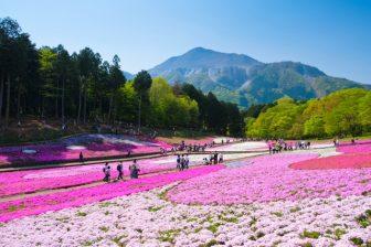 羊山公園2020芝桜の見頃