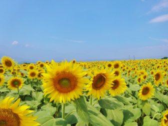 山梨 明野のひまわり畑