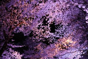 日本三大夜桜