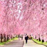 日中線のしだれ桜 2019見頃と見どころは?SLとのコラボが有名!