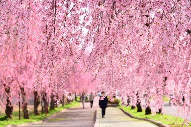 喜多方 しだれ桜