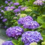 八景島のあじさい祭り2019の料金!見どころや紫陽花の特徴は?
