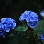 紫陽花の花言葉は怖い!?悲しい意味や良い意味まで解説!