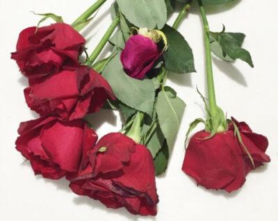 枯れた 赤い バラ