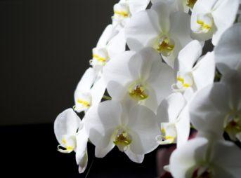 胡蝶蘭の花言葉は怖い?