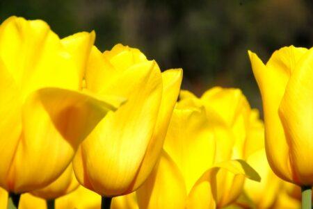 チューリップの花言葉は怖い?