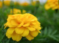 マリーゴールドの花言葉は怖い?